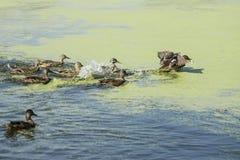 野鸭横跨湖游泳 库存图片