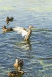 野鸭横跨湖游泳 免版税库存照片