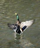 野鸭水表面上的拍动翼  免版税库存照片