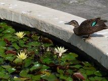 野鸭游泳在池塘 免版税库存图片