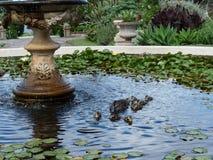 野鸭游泳在池塘 库存图片
