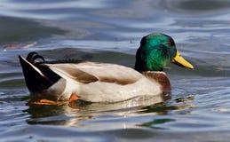 野鸭游泳的被隔绝的照片在湖 库存照片