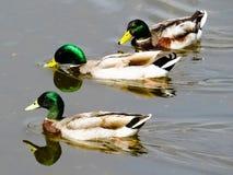 野鸭游泳 库存图片