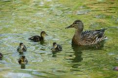野鸭用鸭子在池塘 库存图片