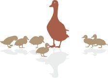 野鸭用年轻鸭子 库存图片