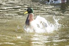 野鸭男性清洁在水中 免版税库存照片