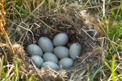 野鸭筑巢,九个白鸡蛋传动器  图库摄影