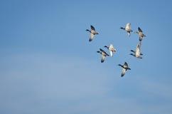 野鸭群低头在蓝天的飞行 图库摄影