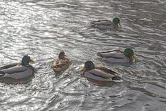 野鸭群在河游泳 免版税图库摄影