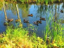 野鸭群基于森林池塘 图库摄影