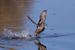 野鸭自来水 免版税库存图片