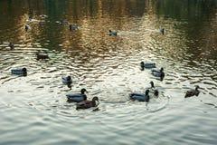 野鸭语录platyrhynchos游泳沿湖的小组在一个温暖的秋天晚上在日落期间 免版税图库摄影
