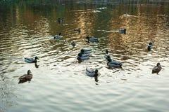 野鸭语录platyrhynchos游泳沿湖的小组在一个温暖的秋天晚上在日落期间 免版税库存照片