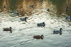 野鸭语录platyrhynchos游泳沿湖的小组在一个温暖的秋天晚上在日落期间 图库摄影