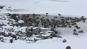 野鸭语录platyrhynchos鸭子在冰中的水中飞溅在池塘在城市公园在雪下 股票录像