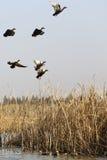 野鸭起飞 库存图片