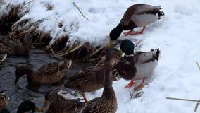 野鸭野鸭在河的多雪的河岸烦扰在冬天 影视素材