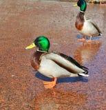 野鸭雄鸭在3月下旬在Tsaritsyno 免版税图库摄影