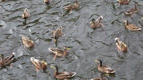 野鸭面包抓住在河 影视素材