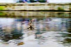 野鸭飞行在河 免版税图库摄影