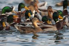 野鸭鸭子、男性和女性游泳在池塘。 免版税库存图片