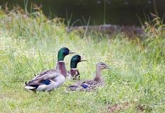 野鸭鸭子、2雄鸭和1只母鸡,乔治亚美国 库存照片