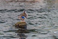 野鸭鸭子修剪 免版税图库摄影