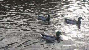 野鸭鸭子和享受他们的时间的加拿大鹅在池塘 股票视频
