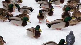 野鸭鸭子和鸽子在雪的冬天在城市停放 家禽饲养学 股票视频