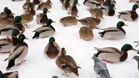 野鸭鸭子和鸽子在雪的冬天在城市停放 家禽饲养学 股票录像
