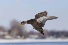 野鸭鸭子在冬天 免版税库存照片