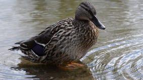 野鸭鸭子在冷的池塘水,特写镜头录影中的清洗它的羽毛 股票视频