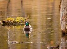 野鸭鸭子在春天 库存照片