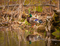 野鸭鸭子在春天 免版税库存图片