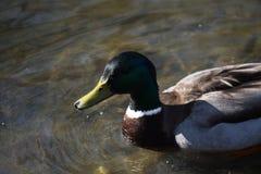 野鸭鸭子在池塘 免版税库存照片