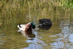野鸭鸭子在池塘 免版税图库摄影