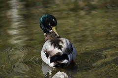 野鸭鸭子在池塘 免版税库存图片