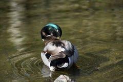 野鸭鸭子在池塘 库存图片