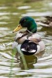 野鸭鸭子在池塘 库存照片