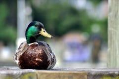 野鸭鸭子坐一个木码头 免版税库存照片