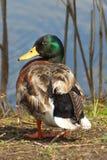 野鸭鸭子外形 免版税图库摄影