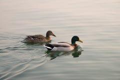 野鸭鸭子夫妇在湖游泳在日落 库存照片