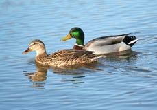 野鸭鸭子夫妇在水中 免版税库存照片