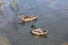 野鸭鸭子夫妇游泳在一个湖在一个晴朗的夏日 免版税库存照片