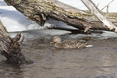 野鸭鸭子女性冬天 免版税库存图片