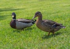 野鸭鸭子女性和男性在草 免版税图库摄影