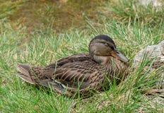 野鸭鸭子女性在草 库存照片