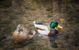 野鸭鸭子对在池塘 免版税库存照片