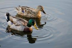 野鸭鸭子德雷克和母鸡 库存图片