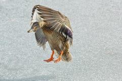 野鸭鸭子母鸡 图库摄影